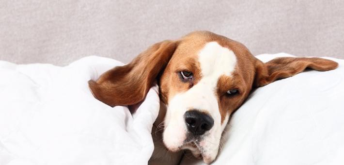 Anämie (Blutarmut) beim Hund: Ursachen, Symptome & Behandlung