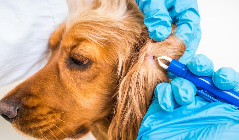Der Tierarzt entfernt die Zecke und leitet die Behandlung gegen Borreliose ein. (#2)