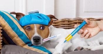 Borreliose beim Hund: Symptome, Therapie & Impfung
