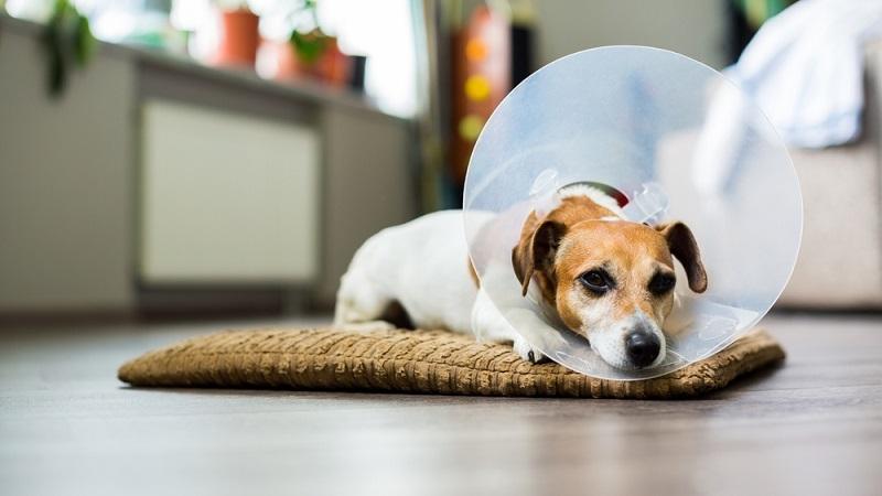 Bei Hunden sollten Sie zudem darauf achten, dass das Tier sich die Brandwunde nicht selbst lecken kann, um die Infektionsgefahr weiter zu senken. Ein entsprechender Schutzkragen kann dabei hilfreich sein.