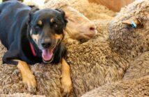 Herdenschutzhunde: Rassen, Charakter & Erziehung