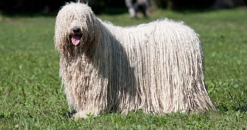 Zur Gruppe der Herdenschutzhunde zählen ferner folgende Arten: Komondor.