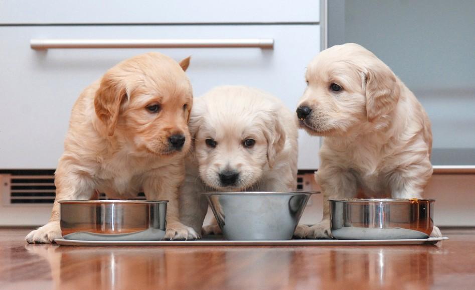 Als geeignetes Welpenfutter kann durchaus auch ein Trockenfutter infrage kommen. Das Puppy Chicken von PLATINUM kommt bei Welpen sehr gut an. (#2)