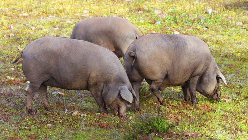 Das iberische Schwein auf einer spanischen Weide.