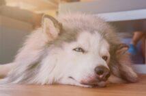 Hund apathisch: Erstes Signal für eine Vergiftung?