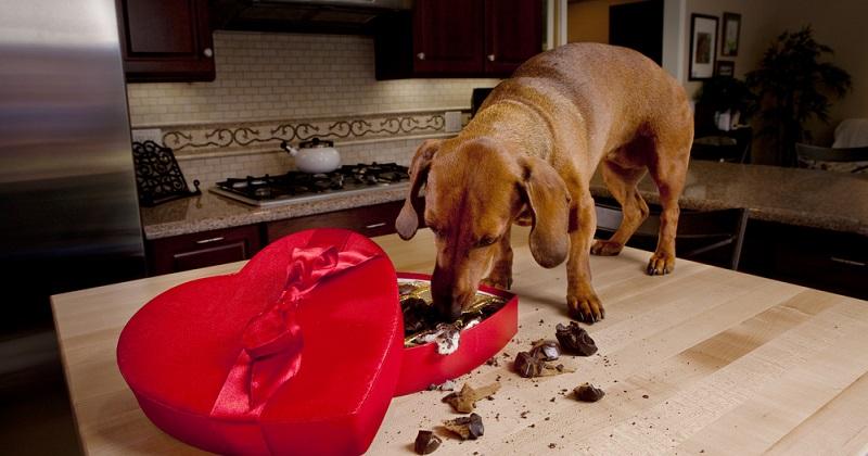 Hunde vertragen keine Schokolade, je höher der Kakaoanteil, desto giftiger ist die Praline für den Hund.