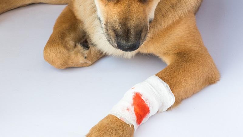 Blutungen erst einmal mit einem Verband stoppen, damit der Hund auf dem Weg zum Tierarzt nicht zu viel Blut verliert.