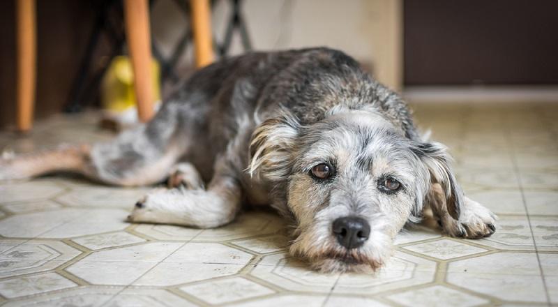 Wenn der Hund apathisch ist, leidet man regelrecht mit ihm mit.