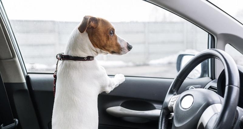 Ein Hund sollte niemals bei warmen Außentemperaturen im geparkten Auto zurückgelassen werden.