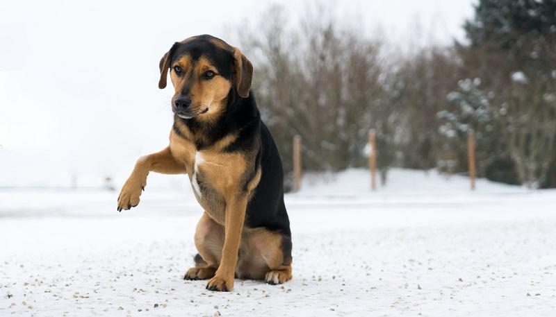 Wenn der Hund auf einmal humpelt und die Pfote hebt, stimmt etwas nicht.