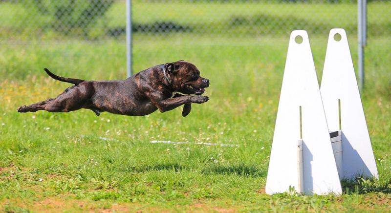 Flyball kann dem Hund sehr viel Spaß machen, an warmen Hochsommertagen aber besser vermeiden.
