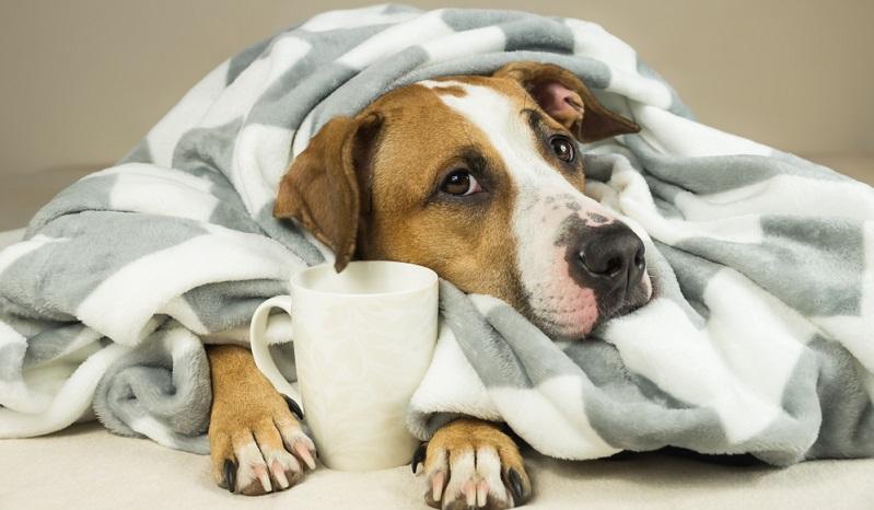 Hat der Hund eine Erkältung, kann man ihn warm einpacken, dann fühlt sich der Hund bald nicht mehr schlapp.