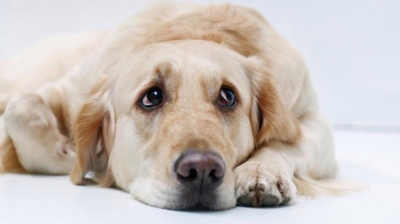 Hat ein Hund Kummer, weil sich sein Leben drastisch verändert hat, kann das auch der Grund dafür sein, dass der Hund schlapp und lustlos ist.