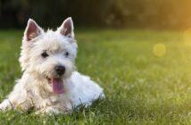 Rückwärtsniesen beim Hund: Symptome, Ursachen und betroffene Rassen