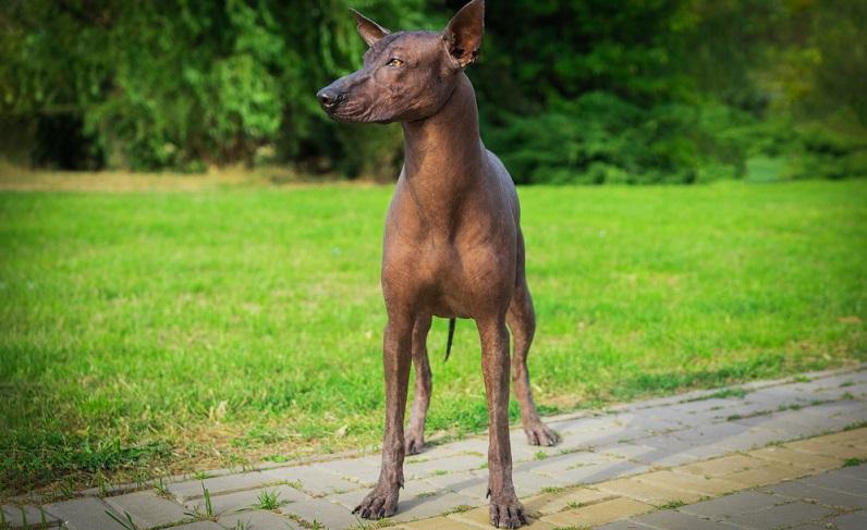 Nackthunde sind besonders vor Hitze und auch Kälte zu schützen.