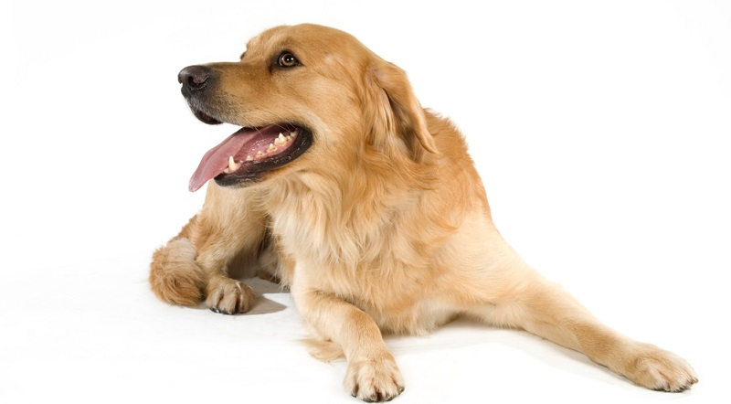 Die meisten Hunde hecheln ab und zu und das ist nicht besorgniserregend. ( Foto: Shutterstock- Dora Zett )