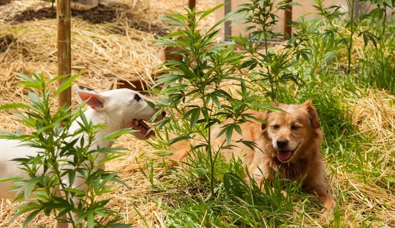 Eines vorweg: Wer CBD Öl für Hunde zur Beruhigung kaufen möchte, will damit seinen Hund nicht high werden lassen. ( Foto: Shutterstock-  Monica Click )