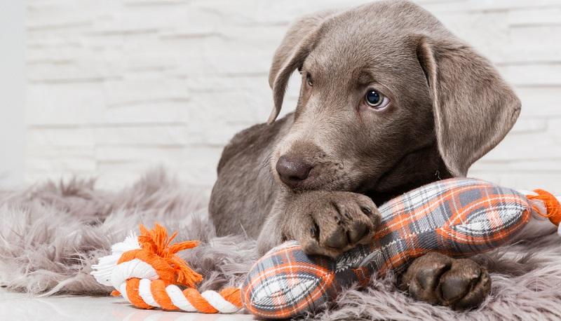 Für Welpen wird eigenes Spielzeug angeboten.  ( Foto: Shutterstock- bmf-foto.de)