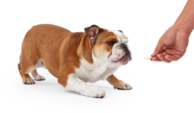 Bei Welpen sind die Milchzähne noch nicht so kräftig, dass sie harte Leckerchen gut kauen können.  ( Foto: Shutterstock- _Susan Schmitz )