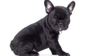 Französische Bulldogge: Mit Knautschgesicht, Kulleraugen und knuffigen Gang ( Foto: Shutterstock-Happy monkey )