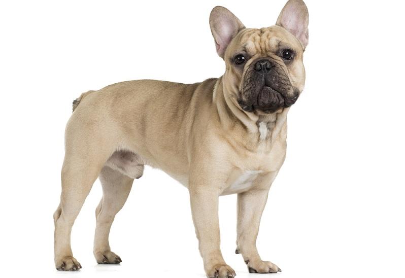 Der zweite Vorname der Französische Bulldogge ist Kampfschmuser. (Foto: Shutterstock-Vivienstock)