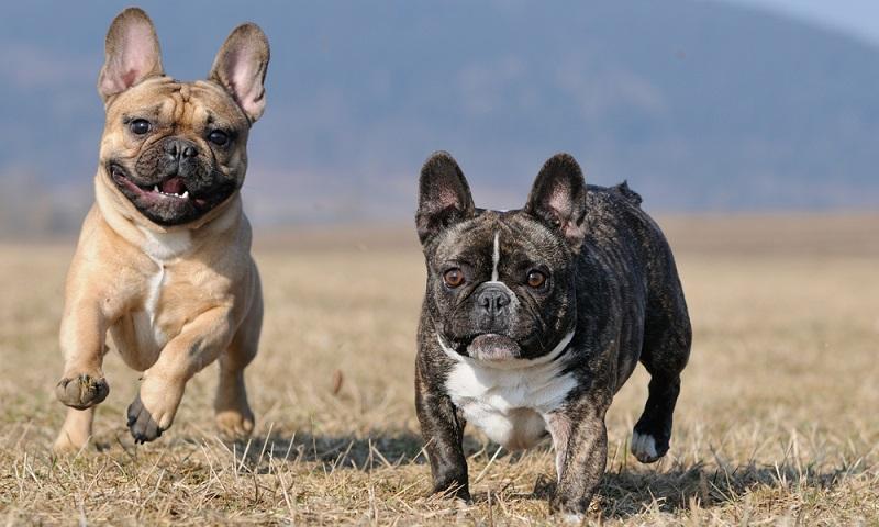 Die Französische Bulldogge ist eine junge Hunderasse mit alten Wurzeln. Sie stammt von den Molossern ab, die von den alten Griechen als Kampfhunde im Krieg eingesetzt wurden. ( Foto: Shutterstock- anetapics )