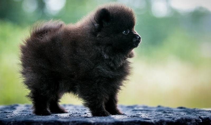 Mit dem lernwilligen Pomeranian sollte man eine gute Hundeschule besuchen, die vielleicht sogar Rally Obedience oder andere Hundesportarten anbietet.  ( Foto: Shutterstock-Eve Photography )