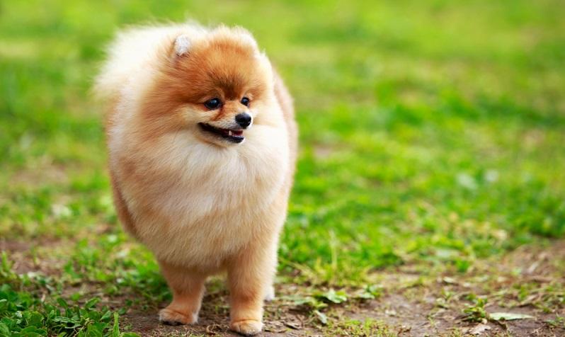 Das hübsche und auffällige Fell des Pomeranian ist an sich unkompliziert zu Pflegen.   ( Foto: Shutterstock- Olga Aniven)