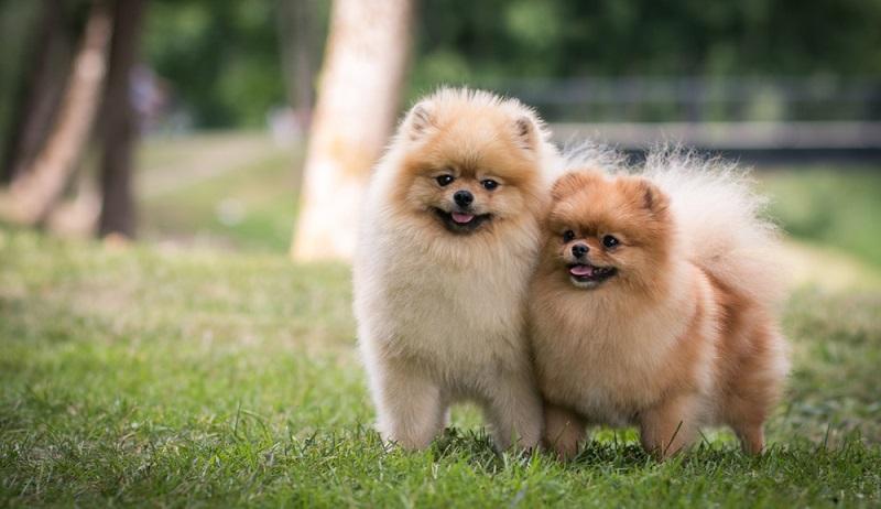 Der Pomeranian stammt vom Deutschen Spitz ab, eine der ältesten Hunderassen in Mitteleuropa.  ( Foto: Shutterstock-_Eve Photography )