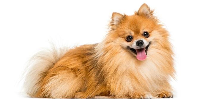 Pomeranian: Liebevolle und freche Fellkugel ( Foto: Shutterstock- Eric Isselee)