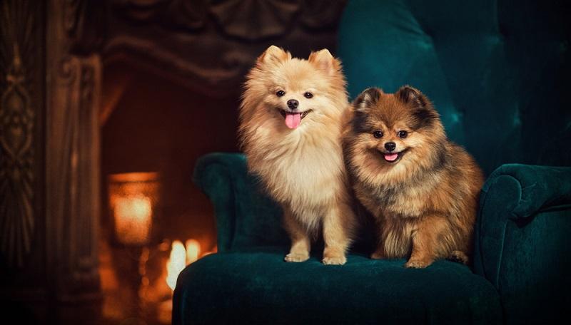 Wer auf der Suche nach einem zweiten Schatten ist, ist beim Pomeranian an der richtigen Adresse. ( Foto: Shutterstock-OlesyaNickolaeva )
