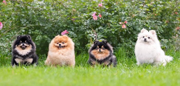 Zwergspitz: Kleine vorwitzige Fellkugel mit viel Charme ( Foto: Shutterstock-Irina Nedikova )