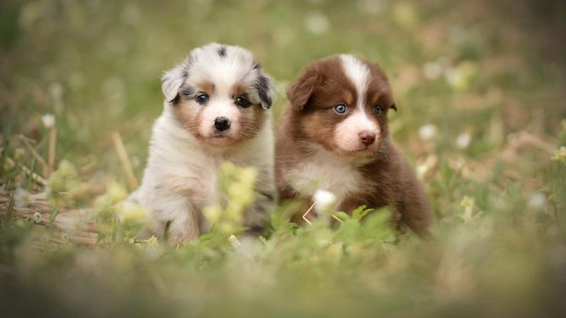 Aussie Welpen sind kleine neugierige Hundewelpen, die in ihrem neuen Zuhause die Welt entdecken möchten.  ( Foto: Shutterstock-_Enna8982 )