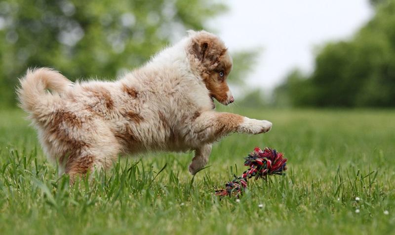 Die Kosten für den Australian Shepherd sind wie bei allen mittelgroßen Hunderassen für den Hundebesitzer nicht unerheblich. Neben dem Kaufpreis sind die Erstausstattung und die Folgekosten große Kostenpunkte für das Haushaltskonto. ( Foto: Shutterstock-Bildagentur Zoonar GmbH )