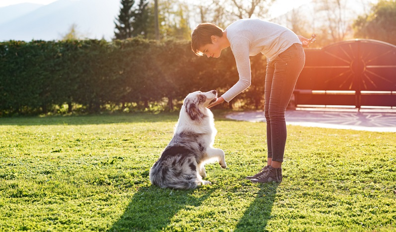 Der Besuch einer guten Hundeschule ist für den Australian Shepherd besonders wichtig. (Foto: Shutterstock-Stock-Asso_)