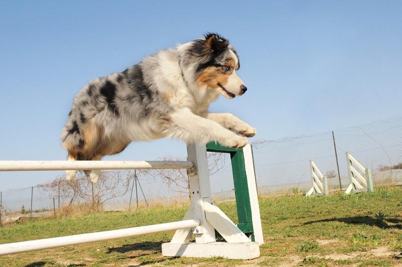 Ersthundebesitzer könnten mit einem Aussie sehr schnell überfordert sein. Hunderassen wie zum Beispiel ein Golden Retriever sind für Ersthundebesitzer wesentlich empfehlenswerter. (Foto: Shutterstock-cynoclub )