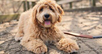 Golden Doodle: Familienhund und Allergikerfreund (Foto: Shutterstock- Lopolo)