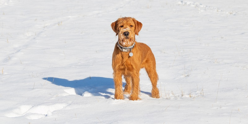 Die Royal Victorian Guide Dogs Association stand nach dem Zuchtprogramm vor dem Problem die entstandenen Welpen in geeignete Familien übergeben zu müssen, die sich auch ihrer Ausbildung annehmen. ( Foto: Shutterstock-pixelABC  )