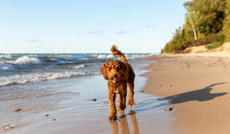 Der Labradoodle verbindet aufgrund seiner Mischung zwei Charaktere miteinander: die des Labradors und die des Pudels. Typische Eigenschaften ist seine besondere Intelligenz, Gelehrigkeit und Verspieltheit.  (Foto: Shutterstock-_Jennifer McCallum )