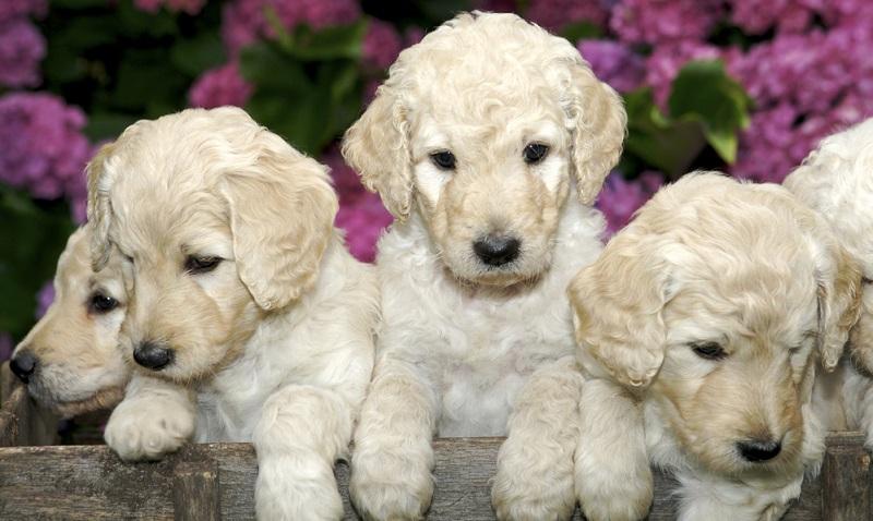 Zeitpensum und finanzielle Mittel sind unbedingt vor der Anschaffung eines Labradoodles wie bei allen Hunden zu bedenken.  (Foto: Shutterstock- Jeanne Provost)