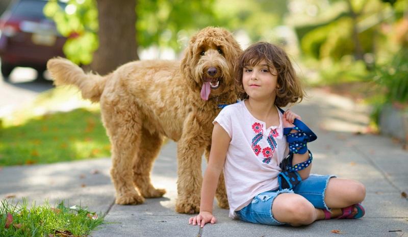 Der Labradoodle ist als Familienhund ideal geeignet, immer vorausgesetzt, dass seine Sozialisierung richtig umgesetzt wurde.   (Foto: Shutterstock- Dina Uretski )