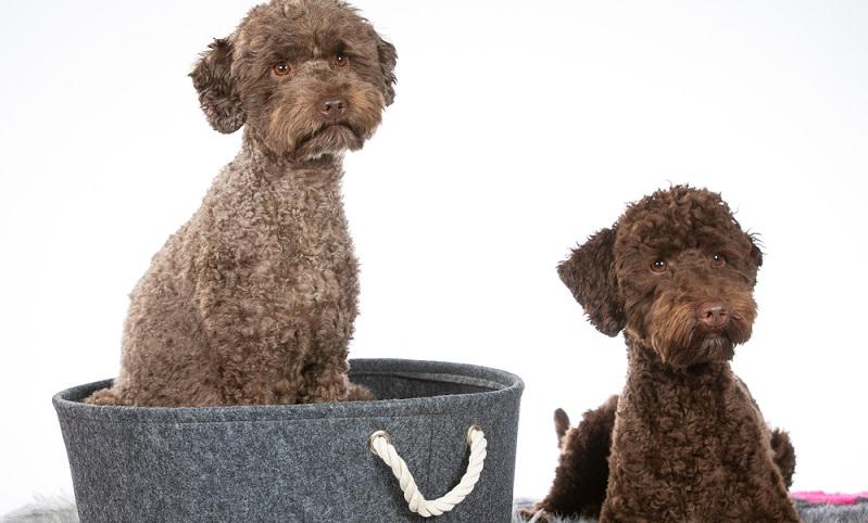 Der Labradoodle als Rasse ist noch einigermaßen jung. Im Jahr 1989 war Wally Conron, ein australischer Hundezüchter, Leiter des Zuchtprogramms der Royal Victorian Guide Dog Association in Australien.  ( Foto: Shutterstock-_ Jne Valokuvaus )