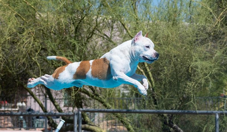 Schaut man den American Staffordshire Terrier an sieht man ein vierbeiniges Power und Kraftpaket. (Foto: Shutterstock-GoDog Photo )