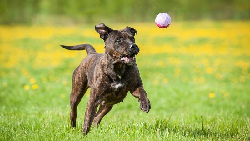 Den Körperbau des American Staffordshire Terriers lässt sich als kräftig und kompakt beschreiben. ( Foto: Shutterstock-_Rita_Kochmarjova )