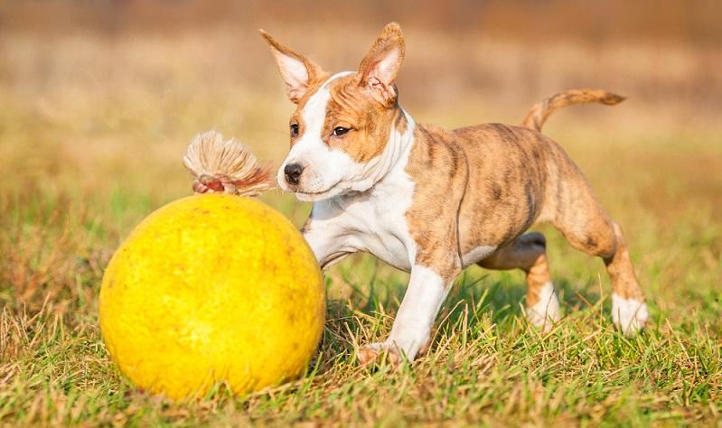 Im Grunde seines Wesens ist der American Staffordshire Terrier ein ausgeglichener, ruhiger und verspielter Hund (Foto: Shutterstock-Rita_Kochmarjova _)