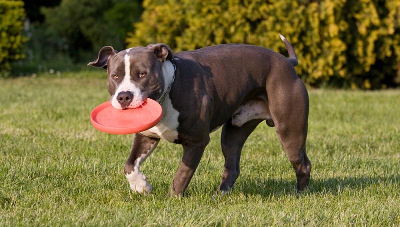 Eigentlich ist der American Staffordshire Terrier gut erziehbar. Doch nur ein erfahrener Hundeführer, der sich auf eine positive Sozialisierung und konsequente Erziehung versteht, kann ihm diese Eigenschaften beibringen. (Foto: Shutterstock- Lenkadan )