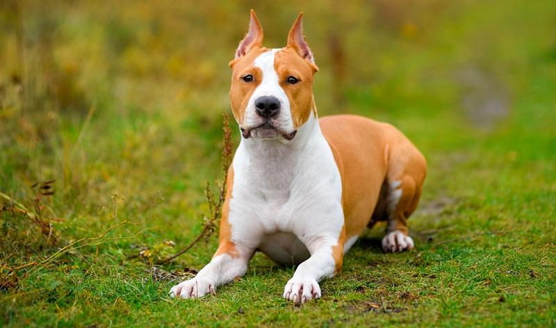 Begonnen hat es in Großbritannien die wettbegeisterten Engländer züchteten speziell für ihre tierquälerischen Wettkämpfe diese Hunderasse. (Foto: Shutterstock- Evgeniia Shikhaleeva )