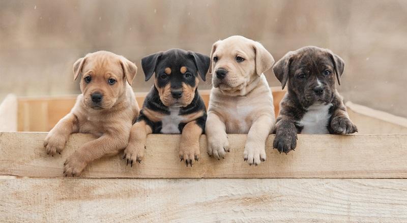 Den Listenhund bitte nur und unbedingt bei seriösen Züchtern und verantwortungsbewussten Züchtern kaufen. (Foto: Shutterstock- Rita_Kochmarjova )