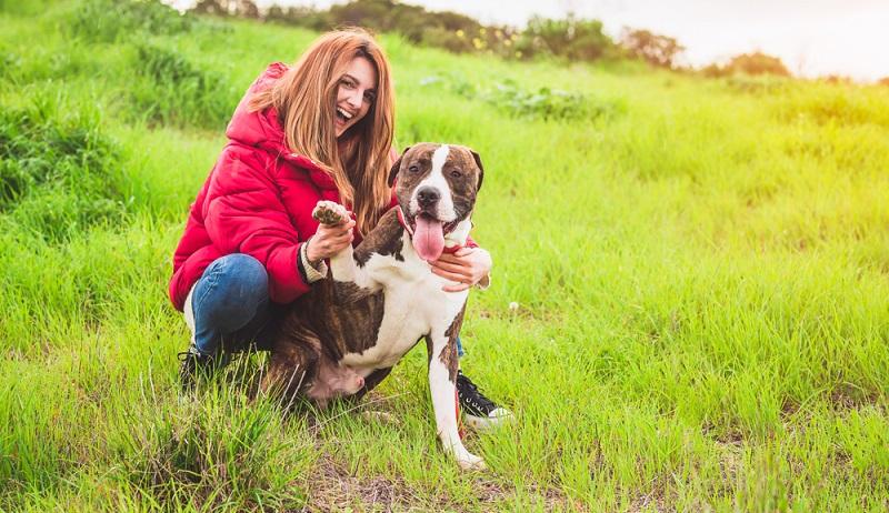 9 bis 15 Jahre Lebenserwartung hat der American Staffordshire Terrier, das bedeutet, dass man sich dieser besonderen Situation so lange stellen muss. (Foto: Shutterstock-Fotoeventis )