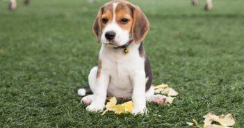 Beagle: Der gesellige, liebenswerte Engländer ( Foto: Shutterstock-Easy Morning)